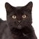 Talking Black Cat