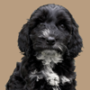 You and Your Cockapoo – The Essential Guide