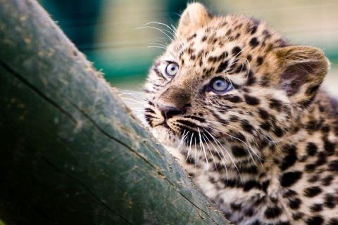 Leopard** screenshot 4