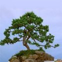 Bonsai Tree - The Art of Growing Bonsai Trees icon