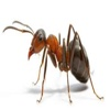 Ant Smasher-USA red ants