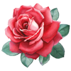 Send Roses Rose Stickers for iMessage Wiki