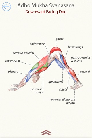 Download 3d Yoga Anatomy App For Iphone And Ipad