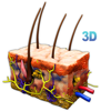 Skin Section 3D