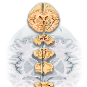Miniatlas Central Nervous System icon