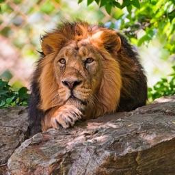 Telecharger Fond D Ecran Lion Pour Iphone Ipad Sur L App