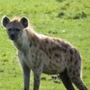 Beautiful Hyena Wallpapers