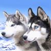 Husky Wallpaper HD