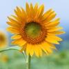 Flower Book - Information Of A - Z Flower Species madagascar national flower