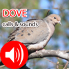 Dove Hunting Calls & Sounds - Real Dove Pigeon
