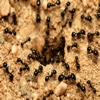 How To Get Rid Of Ants red ants