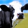 Cow Wallpapers