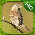 Sparrow Simulator - HD
