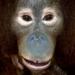 Orang-outan qui parle