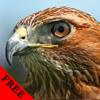 Wild Birds Hawk Video and Photo Galleries FREE