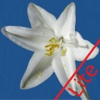 Anza-Borrego Wildflower (Lite) Guide, 100+ flowers